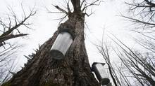 Trees at Gereli Farm in Shefford, Quebec, are tapped on April 9. The syrup is used to make Remonte-Pente syrup. (Christinne Muschi for The Globe and Mail)