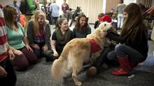 At Dalhousie University therapy dogs are brought to the 'puppy room' so that students can visit and pet them to reduce stress before exams. (Sándor Fizli)