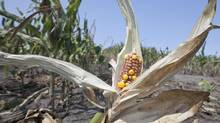 Drought-damaged corn is seen in a field near Nickerson, Neb., this month. (Nati Harnik/AP)