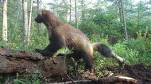 This October 2008 photo released by Jeff Ford, taken near Minden, Mich., shows the female wolverine that was first spotted in 2004 in Michigan's rural Thumb region. (Jeff Ford/AP)