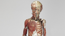 """Lot 72 - French Polychromed Composite Anatomical Model by Louis Thomas Jerome Auzoux (1797-1880), 19th century the 3/4 size intricately detailed ecorche study figure with removable layers showing vascular system, musculature, bone structure, and internal organs all meticulously labelled and numbered, mounted on cast iron tripod base, height 53.5"""" — 135.9cm Est. $3000/5000."""