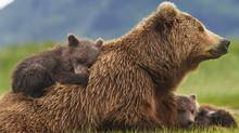 Bears follows almost a year in the lives of a mother brown bear and her cubs. (Oliver Scholey. ©Disneynature ©Disney)