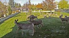 The number of urban deer in the Kootenays continues to increase, along with the reports of attacked pets and damaged property. Cranbrook Mayor Wayne Stetski said that between 2010 and 2011, complaints about aggressive deer more than doubled. (City of Cranbrook/City of Cranbrook)
