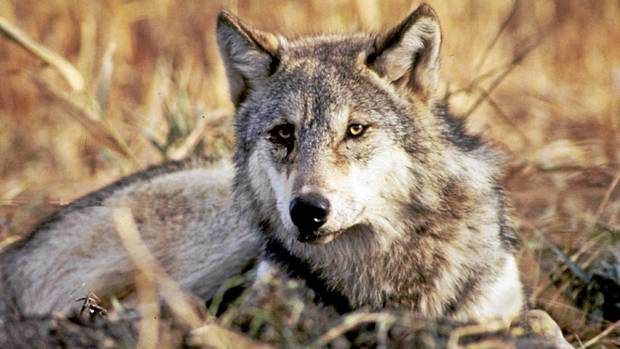 the reintroduction of gray wolves into yellowstone There was less support from idaho conservationists for an idaho reintroduction than for yellowstone because there was good evidence that wild wolves were already migrating into idaho from time-to-time such wolves had been photographed, one wolf had even been given a radio collar, and another showed up dead, possibly killed by a rancher.