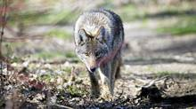 A coyote is seen at Cherry Beach in Toronto, Ont. Tuesday, April 3/2012. (Kevin Van Paassen/The Globe and Mail)
