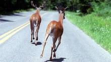 White tail deer (Essdras M Suarez/The Boston Globe)