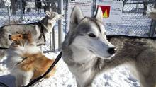 Doglike traits for bosses range from the herding instincts of the collie to the stamina of huskies. Which type of canine runs your company? (Moe Doiron/The Globe and Mail/Moe Doiron/The Globe and Mail)