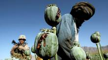 Afghan men harvest opium in a poppy field in Farah province. (GORAN TOMASEVIC/Goran Tomasevic/Reuters)