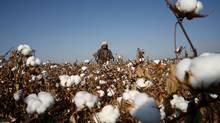A farmer picks cotton on a farm on the outskirts of Hami, Xinjiang Uighur Autonomous Region, China. (STRINGER SHANGHAI//REUTERS)