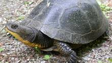 The Ontario Court of Appeal ruled on Monday that a 324-hectare, nine-turbine wind farm proposed for the south shore of Prince Edward County puts a population of endangered Blanding's turtles at risk of dying out in that region's wetland.