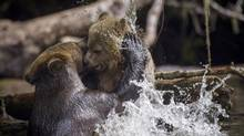 A female grizzly bear shows her spring cub who's the boss in Glendale river, up Knights Inlet, B.C. September 18, 2013. (John Lehmann/The Globe and Mail)