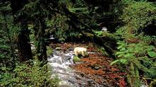 Shots are from great bear rainforest in BC. Credit: Ian McAllister (Ian McAllister/Ian McAllister)