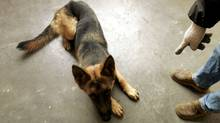Lulu, a German Shepherd, takes discipline training at a pet school in China in 2006.