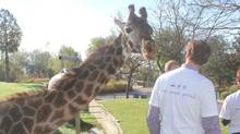 On January 20. 2014, Ginetta the Toronto Zoo's 30 year old Masai giraffe passed away. (Toronto Zoo)