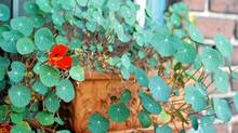 Although nasturtiums can take a lot of tough love, don't be so rough with container-grown varieties. Never let them dry  out, for instance. And give them a slightly shadier spot than you would in-ground plants. (Gayla Trail)