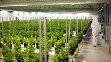 Medical marijuana plants grow at the Tweed Inc. facility in Smith Falls, Ont., on Nov. 11, 2015. (James MacDonald/Bloomberg)