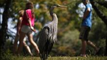 A Great Blue Heron stands tall near the shoreline of Goodacre Lake in Beacon Hill Park, Victoria,BC, Saturday July 7, 2012. (Chad Hipolito/The Globe and Mail)