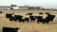 Beef cattle in pasture beside the XL Foods' Lakeside Packers plant in Brooks on Friday. (Larry MacDougal/The Canadian Press)