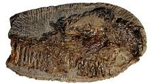 Paleontologists say a fossil discovered inside a fist-sized rock on B.C.'s Hornby Island belongs to a rare flying reptile. University of Alberta paleontologist Victoria Arbour says she initially thought the fossil belonged to a dinosaur. But Arbour says the jaw bone fossil has been traced to the flying reptile that had a three-metre wing span. (Handout/The Canadian Press/Handout/The Canadian Press)