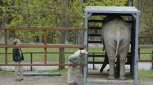 Toka , a 42 year old African elephant, is photographed on May 1 2012 at the Metro Toronto Zoo getting accustomed to the container that will be used to send her to another facility. (Fred Lum/The Globe and Mail/Fred Lum/The Globe and Mail)