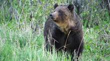 A female grizzly bear is shown in a handout photo. THE CANADIAN PRESS/HO-Parks Canada-Steve Michel (THE CANADIAN PRESS/HO-Parks Canada-Steve Michel/THE CANADIAN PRESS/HO-Parks Canada-Steve Michel)