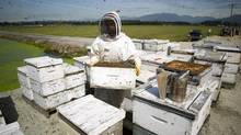 A worker from Chile helps move hives at Dr. Lin's farm in Pitt Meadows, B.C., on June 4, 2013. Honeybee colonies across Canada and the world are seeing a huge decline in numbers. (Ben Nelms for The Globe and Mail)