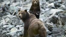 A grizzly bear sow and her spring cub make their way along an old rock slide in the Bella Coola Valley near Tweedsmiur Park Lodge in October 2011. (John Lehmann/The Globe and Mail)