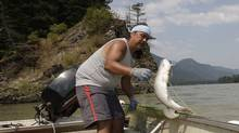 Tyrone McNeil lands a sockeye salmon that will be cut into strips to be hung on a dry rack to cure for up to 10 days on the banks of the Fraser river near Hope, B.C. (Lyle Stafford)