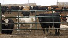 Feedlot operators at the heart of Canada's biggest cattle-producing region are calling on the Alberta government to overturn a first-of-its-kind tax imposed by their rural municipality that they say will result in more cattle feeders going out of business. (Jeff McIntosh/THE CANADIAN PRESS)