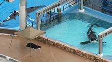 Three orcas at SeaWorld in Orlando, Fla., on Wed., Feb. 24. The marine park was the scene of a fatal orca attack on Wednesday. (Red Huber/Red Huber/The Associated Press)