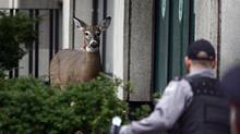 With the help of a veterinarian from the Toronto Zoo, Toronto Police officers hold a female deer that ventured into downtown. The animal was shot with a tranquilizer, then tasered as it tried to flee near Dundas and University. (Fernando Morales/The Globe and Mail/Fernando Morales/The Globe and Mail)