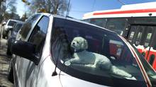A dog waits for it's owner in car parked on Bathurst Street south of Dundas Street in Toronto on May 9, 2011. (Peter Power/The Globe and Mail)