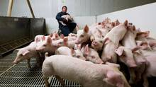 John de Bruyn feeds some of his 750 sows on his farm near Woodstock, Ont. (Glenn Lowson for The Globe and Mail)