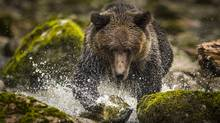 A sub adult grizzly bear chases down a salmon near Klemtu, B.C. August 29, 2015. British Columbia's spring grizzly bear hunt opened on the weekend. If the BC New Democratic Party wins the May 9 election, this will be the last time the bears will face trophy hunters as they emerge from hibernation, groggy and hungry. (John Lehmann/The Globe and Mail)