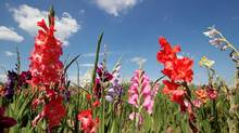 Gladiolas. (AntiMartina/Thinkstock)