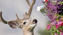 A deer is seen in B.C. in this file photo. (Brendan Halper/CP)