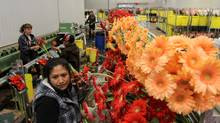 It's constantly busy in the flower sorting areas of Rosa Flora Limited in Dunnville where they grow 110 varietals of Gerbera. Rosa Flora are hoping customize their flower packaging system to give their customers greater control over the type and size of flowers they receive (Glenn Lowson/The Globe and Mail)