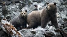 A grizzly bear sow and her spring cub make their way along an old rock slide in the Bella Coola Valley near Tweedsmiur Park Lodge October 8, 2011. (John Lehmann/The Globe and Mail)