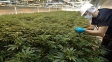 Commerical marijuana growers will soon be vying for an expanded number of government contracts.