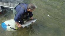 A salmon is released at a lake just east of Vancouver in this 2008 file photo taken by Craig Orr of Watershed Watch. (Craig Orr/Watershed Watch)