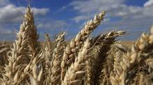 A field of unharvested wheat is seen outside Montigny en Ostrevent, near Valenciennes, northern France, on July 31, 2013. (PASCAL ROSSIGNOL/REUTERS)