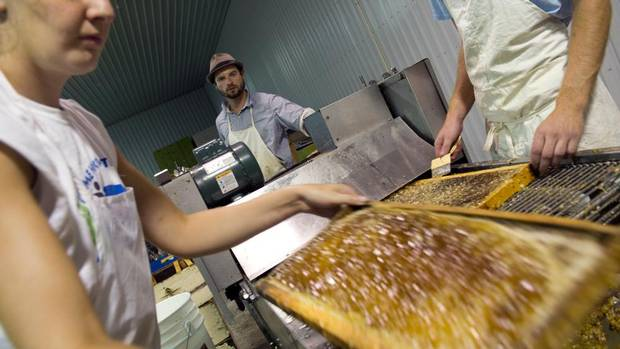Niagara College summer coop students Audrey Friendship (left) and Benjamin Brown (right) as well as Vineyard Manager Luke Orwinski (centre) put capped frames through an uncapper before placing them in honey extractors, July 25, 2012 at Rosewood Estates's 21st Vineyard and Honey Processing Location in Jordan, Ontario.