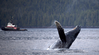 A humpback whale breaches the surface outside of Hartley Bay along the Great Bear Rainforest, B.C. Sept, 17, 2013.
