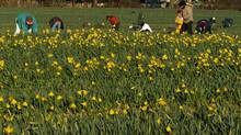 File photo of seasonal workers at a daffodil farm near Victoria.  (Don Denton/The Globe and Mail)