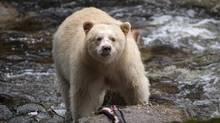 A Kermode bear, better know as the Spirit Bear is seen fishing in the Riordan River on Gribbell Island in the Great Bear Rainforest, B.C. Wednesday, Sept, 18, 2013. (JONATHAN HAYWARD/THE CANADIAN PRESS)