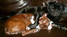 Pug Fernando hugs his newly adopted brother Pablo (an Old Boston Bulldog puppy). (Melissa Mix Hart/Melissa Mix Hart)