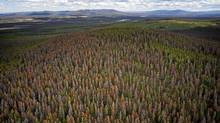 Dead Red Pine trees near Williams Lake, B.C., in 2007. B.C. government projections show that after the timber killed by pine beetles has been logged off, a major shortage of harvestable trees will occur, starting within two years and lasting for as long as 50 years. (John Lehmann/The Globe and Mail/John Lehmann/The Globe and Mail)