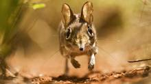 """A beast known as a sengi in a scene from """"One Life"""" (Norbert Rottcher)"""