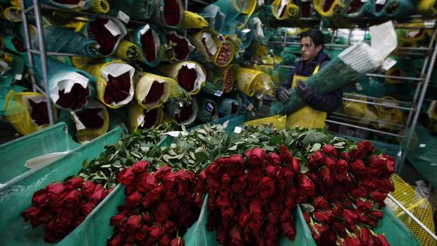 A worker prepares roses for export before Valentine's Day at Elite Flowers in Facatativa, Colombia, Feb. 6, 2013. (JOHN VIZCAINO/REUTERS)