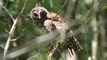 Barred owl. (Dean Fosdick)